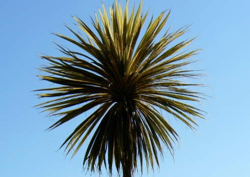 cornish palm morrab gardens penzance